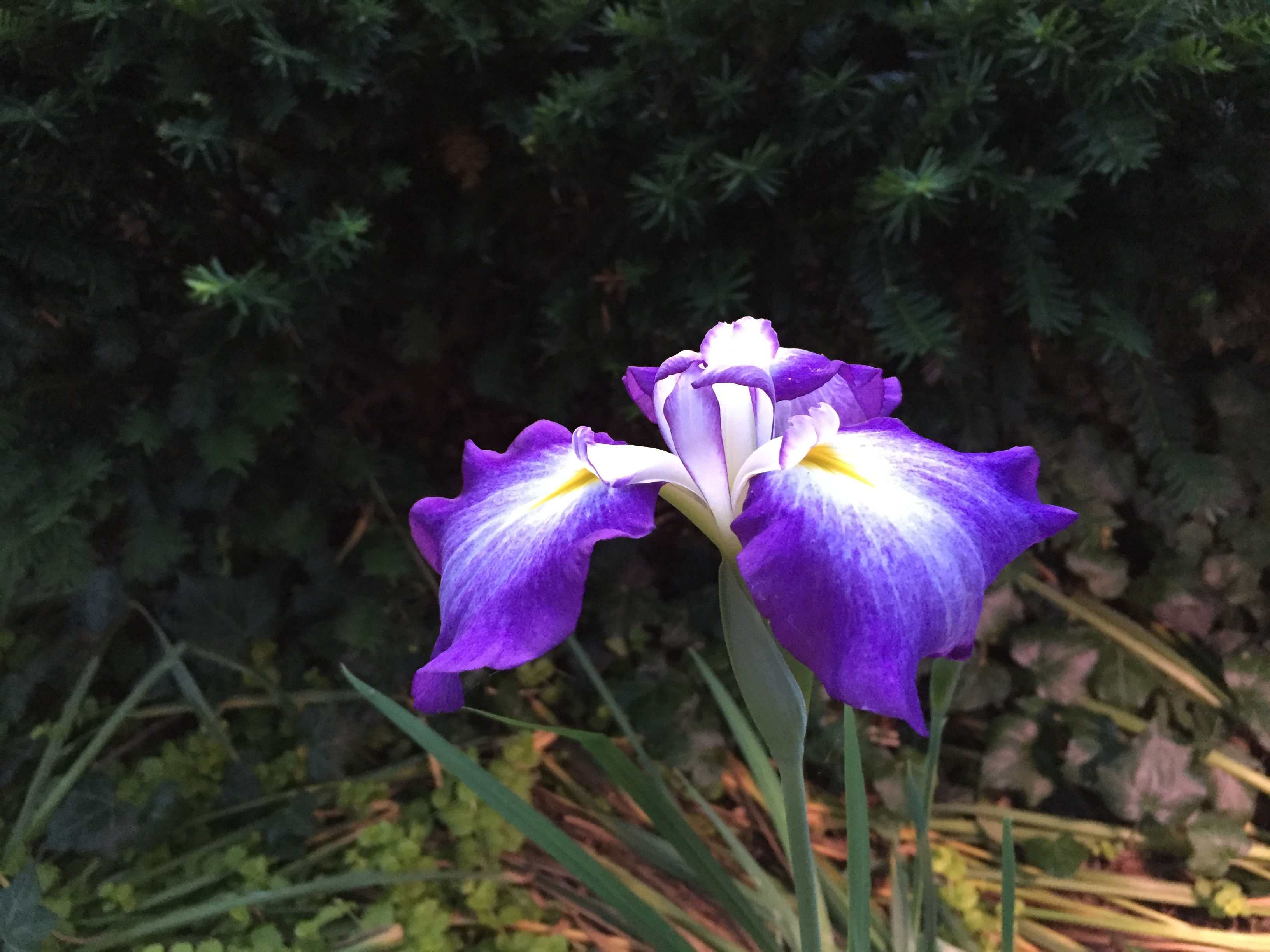 Japanese iris that surprised me...I forgot I planted it