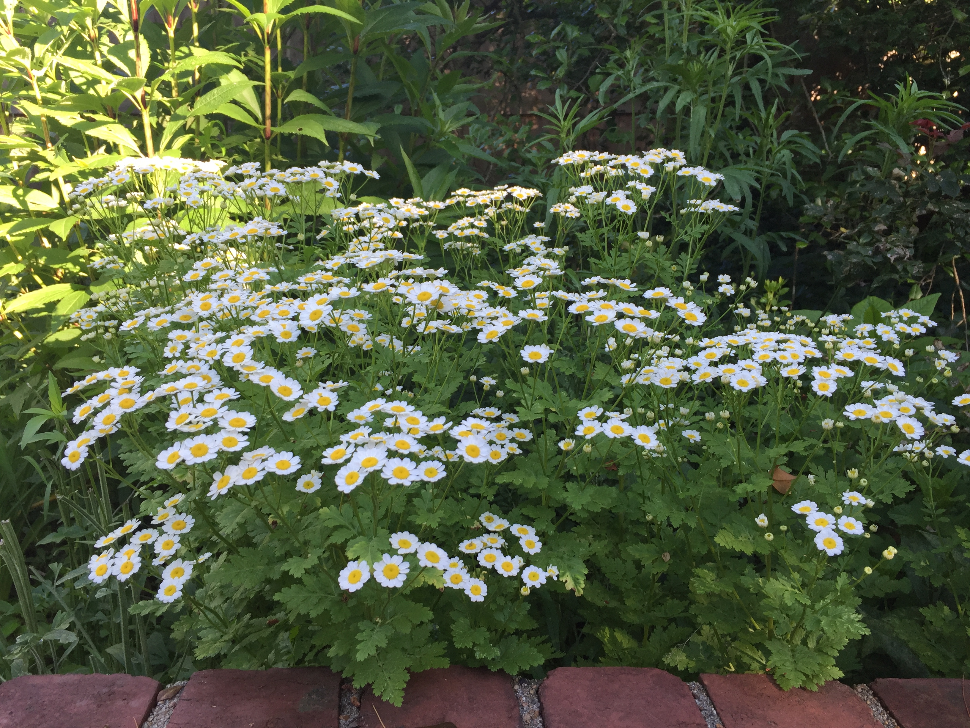 Feverfew...deer don't eat it and can be invasive...though it is pretty!