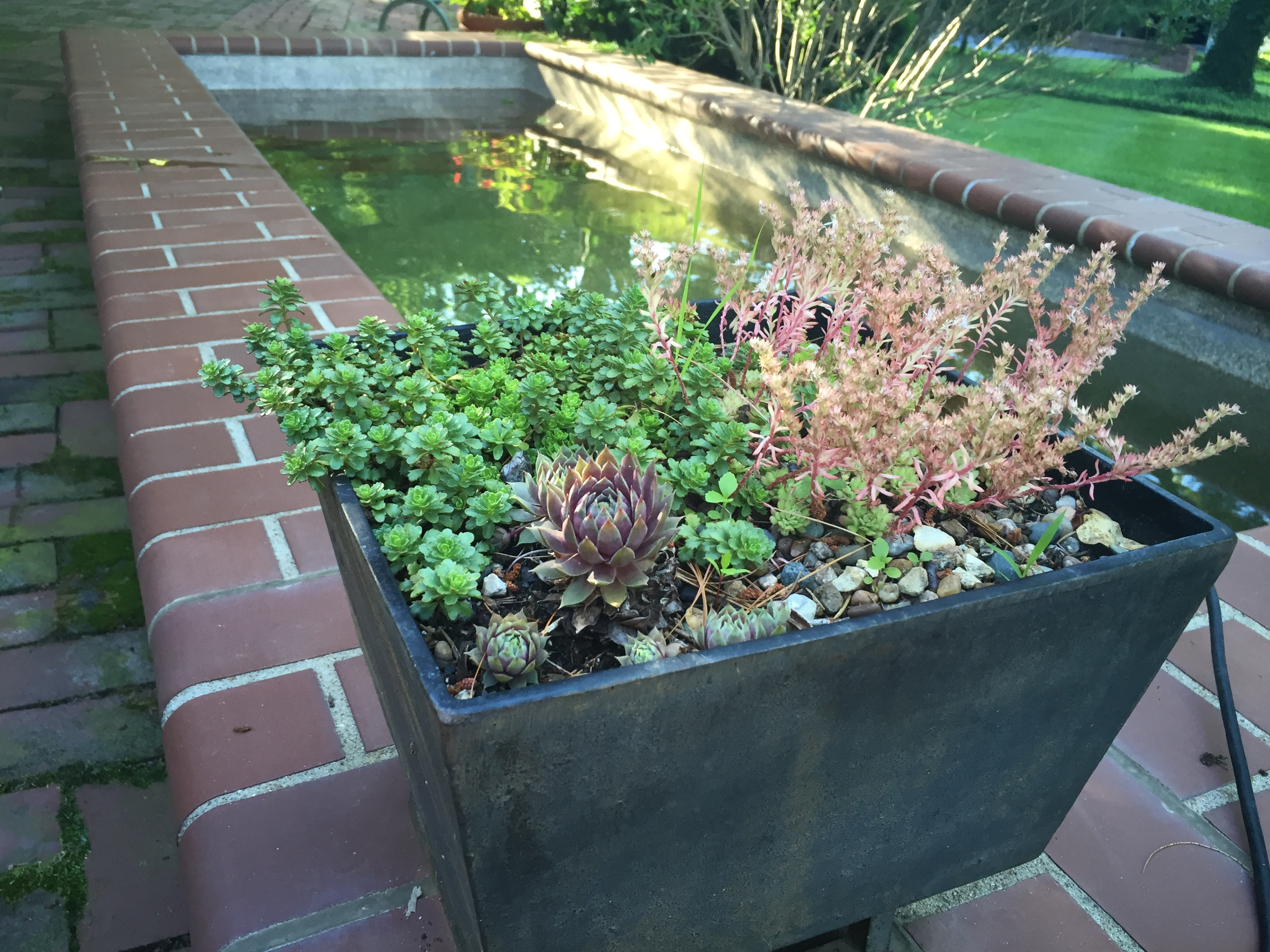 Sedums in my Bernoudy planter....near my martini pool.